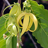 Essential Oil of Ylang Ylang - Creole Secret Therapeutic Aromatherapy