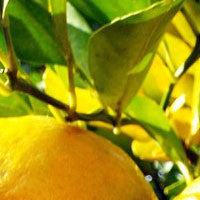 Essential Oil of Bergamot - Creole Secret Therapeutic Aromatherapy