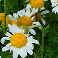 Essential Oil of Chamomile - Creole Secret Therapeutic Aromatherapy