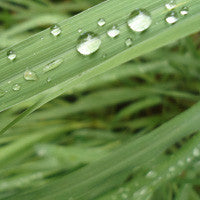Essential Oil of Citronella - Creole Secret Therapeutic Aromatherapy