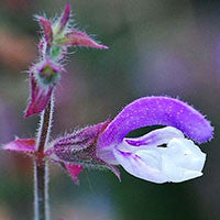 Essential Oil of Clary Sage - Creole Secret Therapeutic Aromatherapy