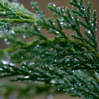 Essential Oil of Cypress - Creole Secret Therapeutic Aromatherapy