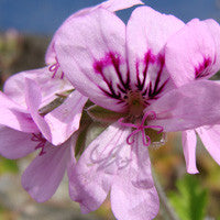 Essential Oil of Geranium - Creole Secret Therapeutic Aromatherapy