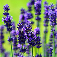 Essential Oil of Lavender - Creole Secret Therapeutic Aromatherapy
