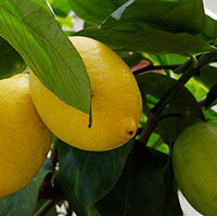 Essential Oil of Lemon - Creole Secret Therapeutic Aromatherapy