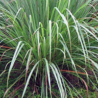 Essential Oil of Lemongrass - Creole Secret Therapeutic Aromatherapy