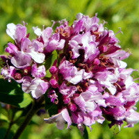 Essential Oil of Marjoram - Creole Secret Therapeutic Aromatherapy