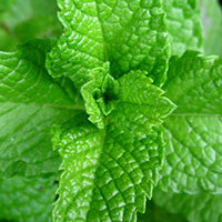 Essential Oil of Peppermint - Creole Secret Therapeutic Aromatherapy