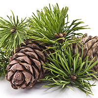 Essential Oil of Pine - Creole Secret Therapeutic Aromatherapy