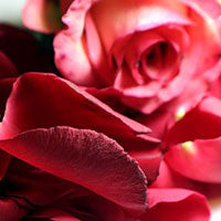 Essential Oil of Rose - Creole Secret Therapeutic Aromatherapy