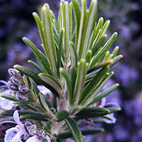 Essential Oil of Rosemary - Creole Secret Therapeutic Aromatherapy