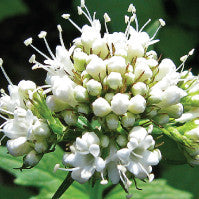 Essential Oil of Valerian - Creole Secret Therapeutic Aromatherapy