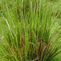 Essential Oil of Vetiver - Creole Secret Therapeutic Aromatherapy