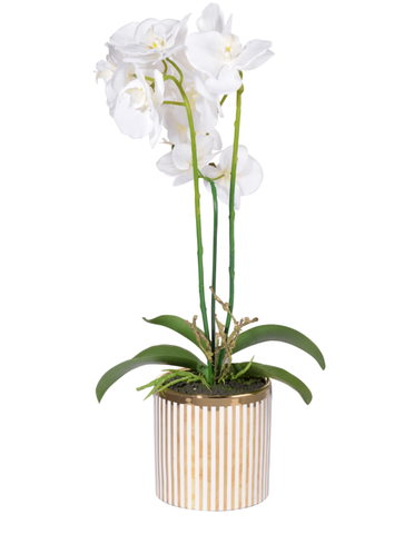 Gold stripe Potted Orchid,White