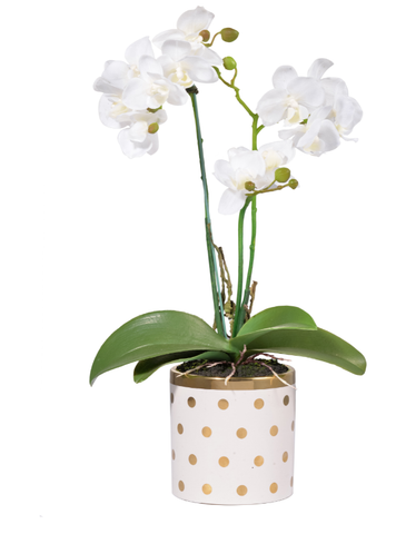 Gold dot Potted Orchid,White