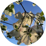 Dogwood blossoms in Vancouver