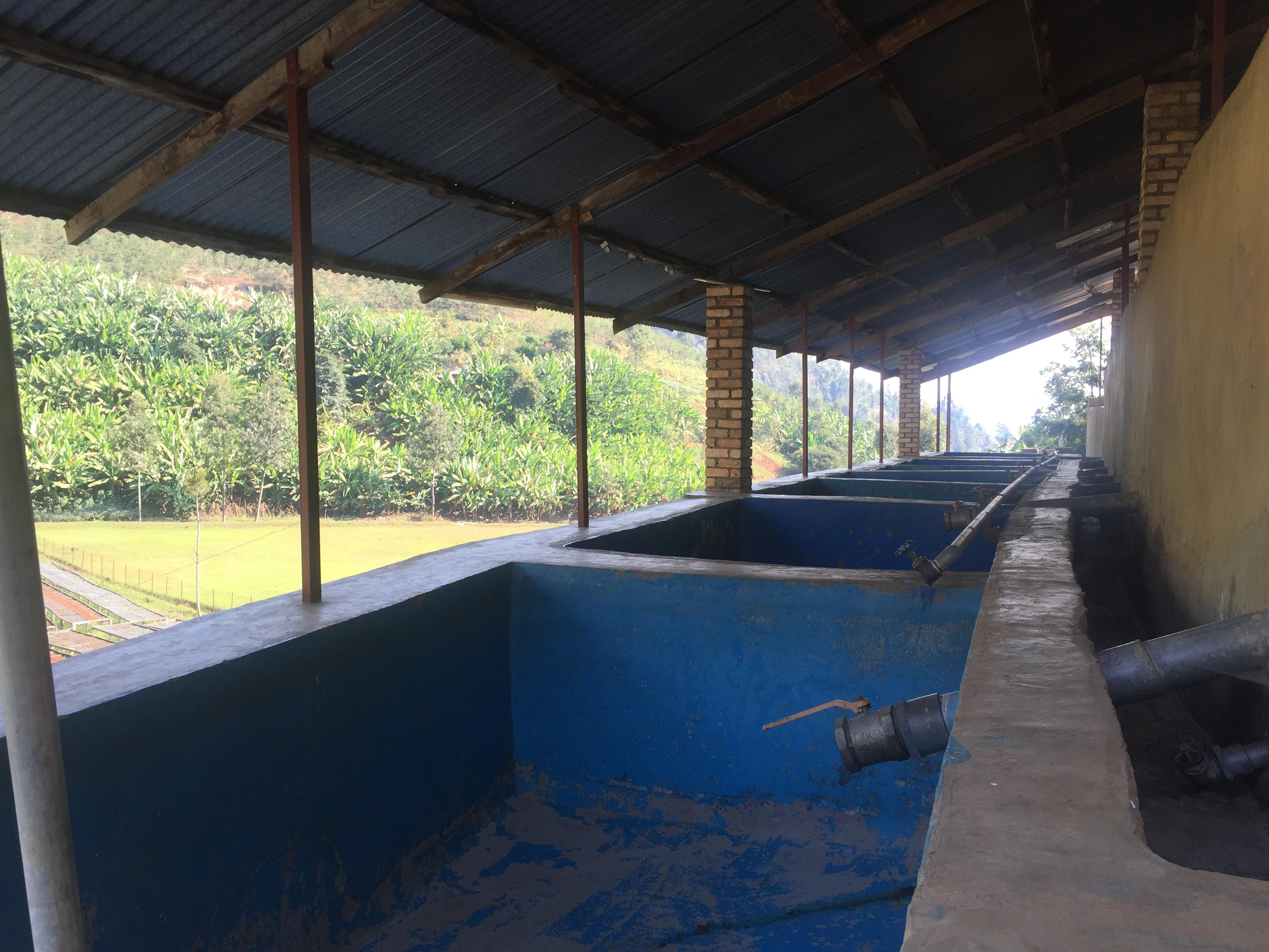 Then, each grades are separately dry fermented into those concrete tanks. Taps at the bottom are left open, leaving the parchment coffee fermenting without being under water