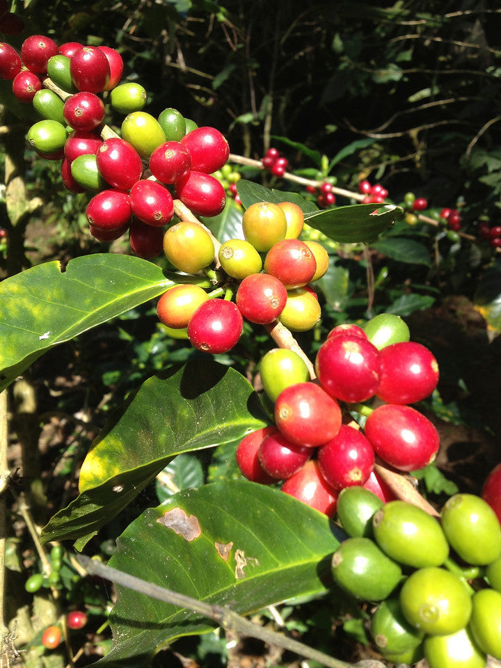 Coffee cherries and trees. Only the red ones are going to be picked.