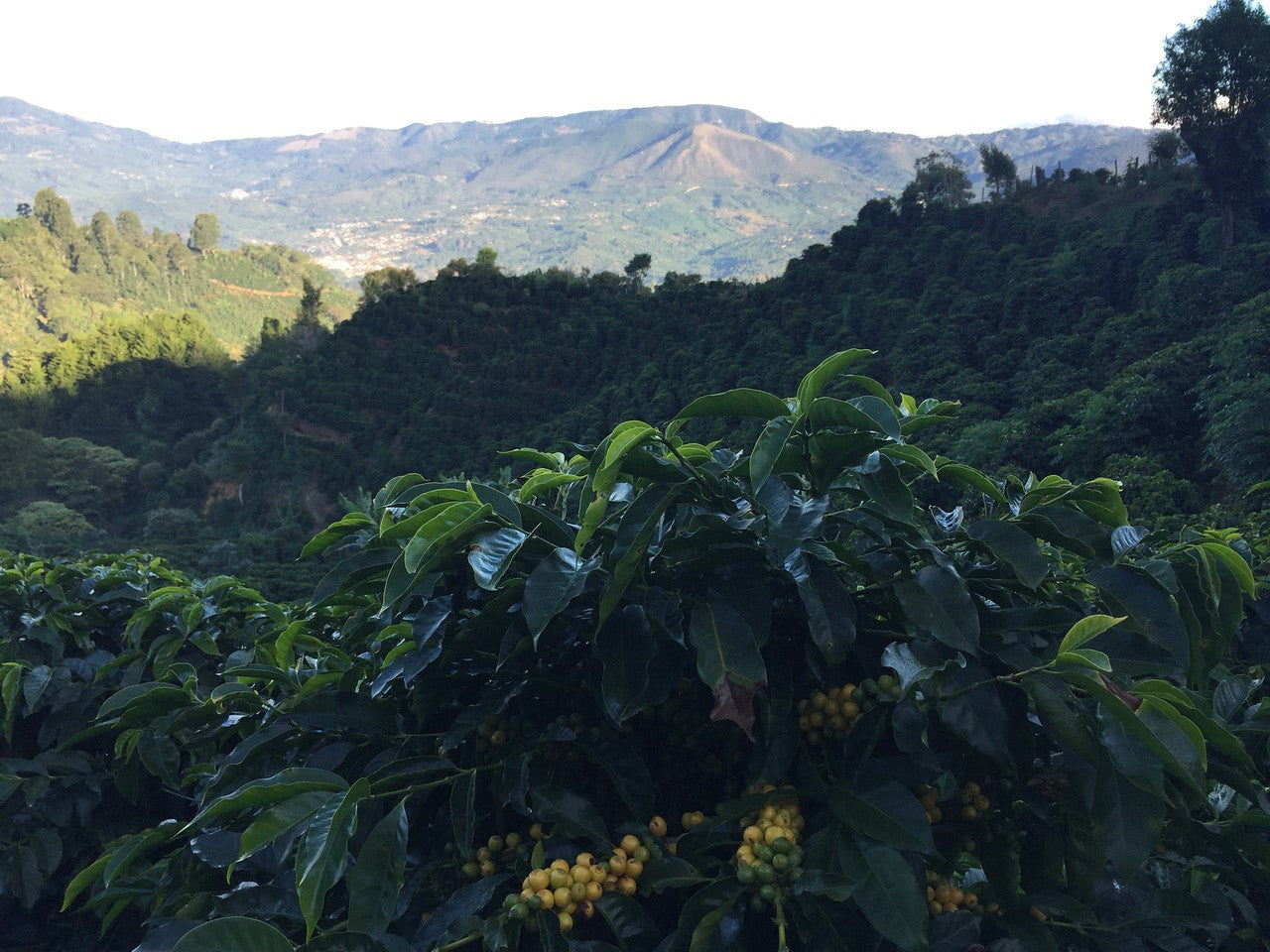 Some healthy Arabica trees, and beautiful view of the surrounding mountains