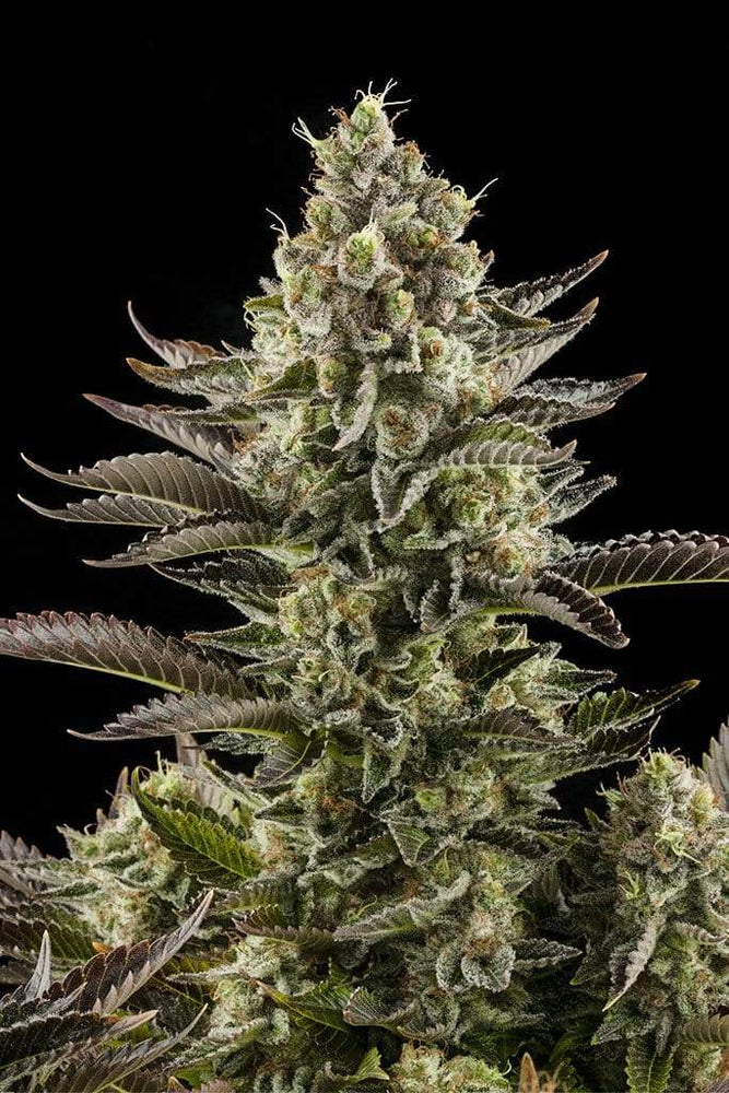 Dinafem Seeds Seeds White Widow