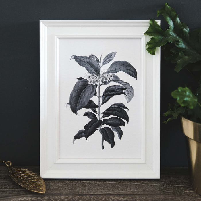 'Metrosideros' Vintage Botanical Illustration Print