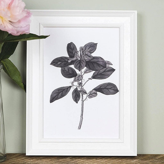 'Securinega' Vintage Botanical Illustration Print