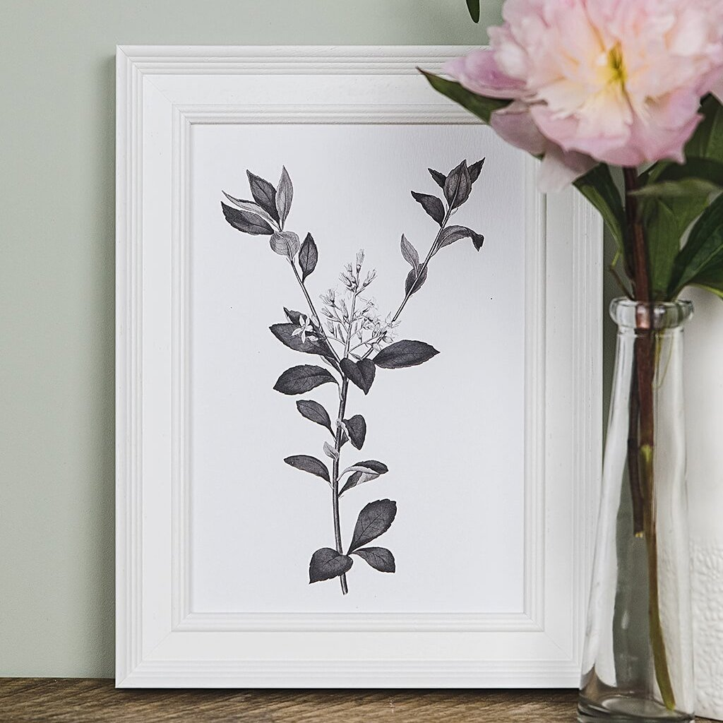 Monochrome Vintage Botanical Illustration Prints 'Rhaphiolepis'