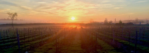 View of our vineyards at sunrise