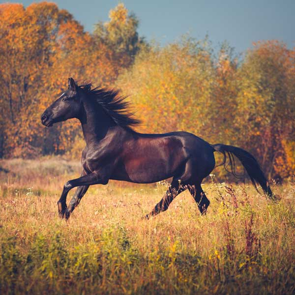 fall laminitis in horses