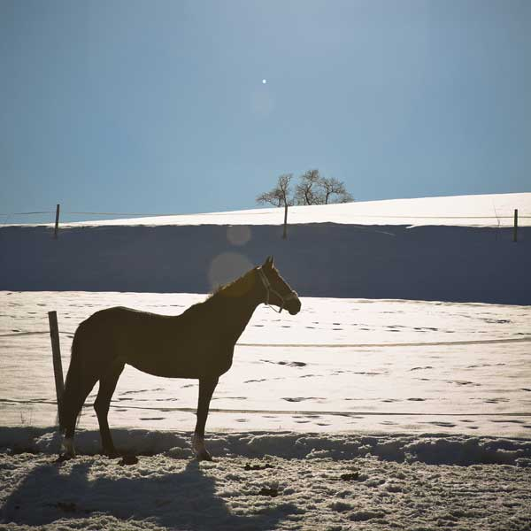 winter horse in snow