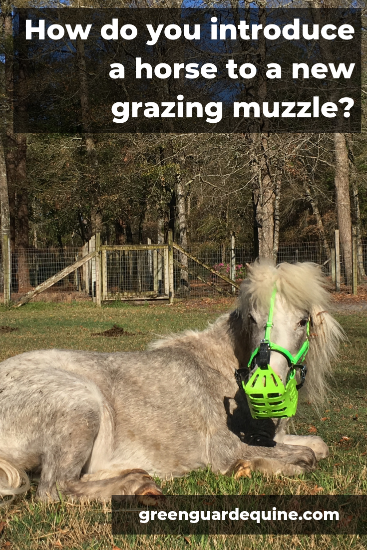 introduce new grazing muzzle to horse