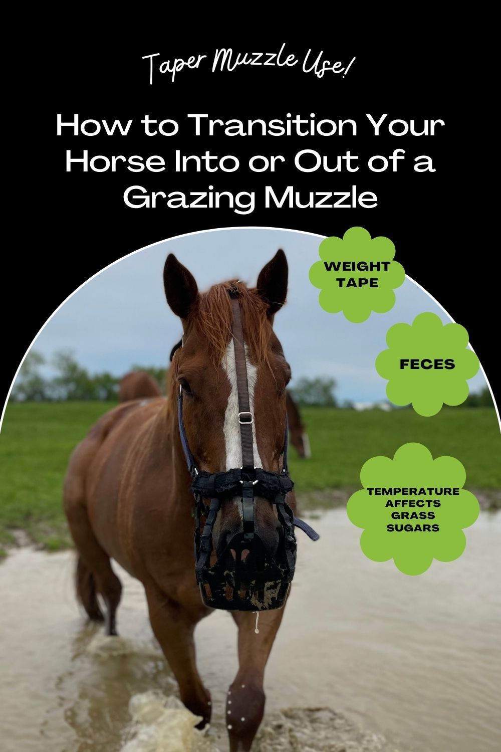 how to taper grazing muzzle use for horse