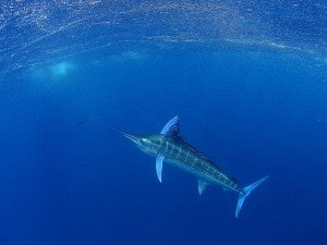 Underwater photo of a Marlin by Al McGlashan
