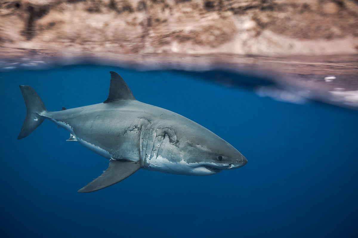 photo of great white shark taken y Juan Oliphant