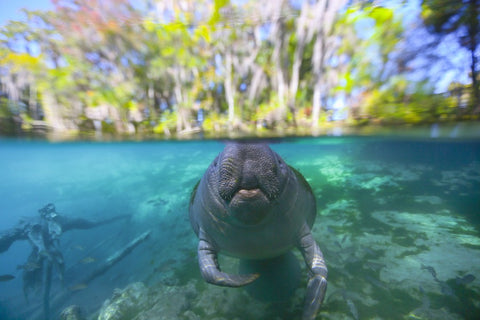 Manatee in Florida by Ben Hicks