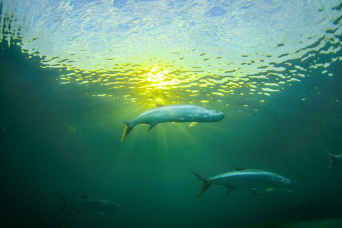 A couple of Tarpons in the water, photo by Ben Hicks