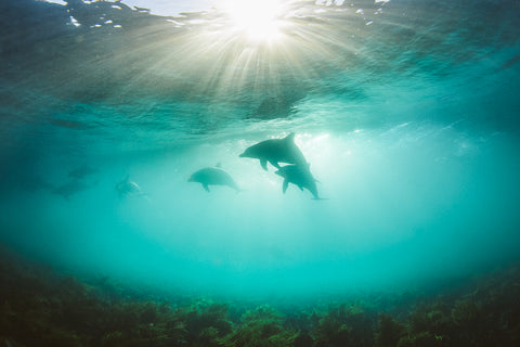 Underwater shot of dolphins by Phil Thurston