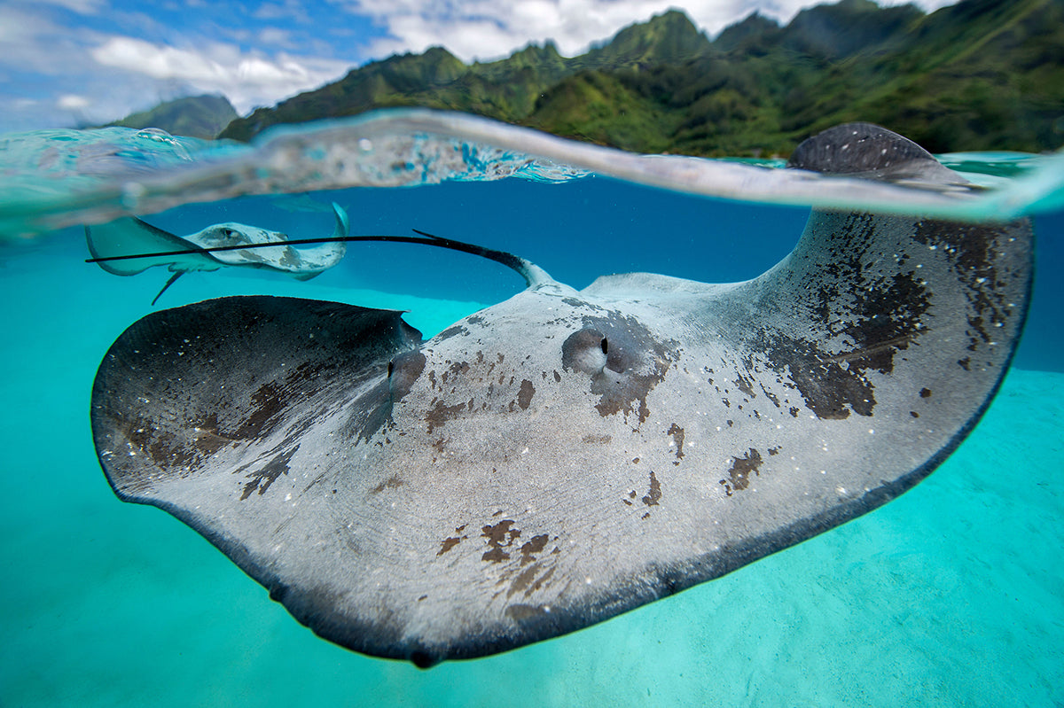ocean photo of stingray