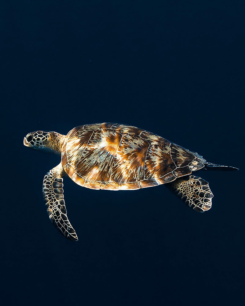 turtle on blue background