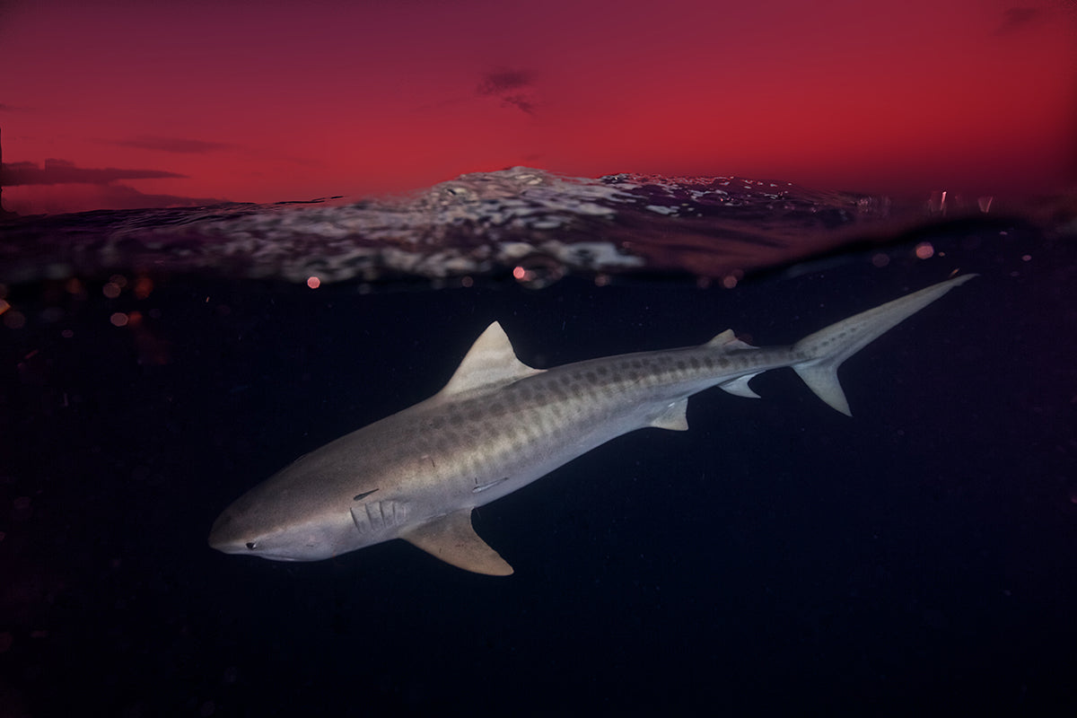 underwater photo of a shark with a red sky above