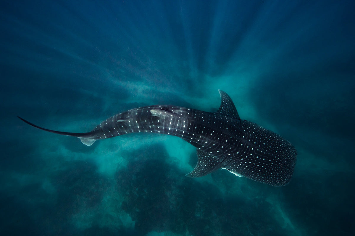 photo of whale shark taken with Aquatech water housing