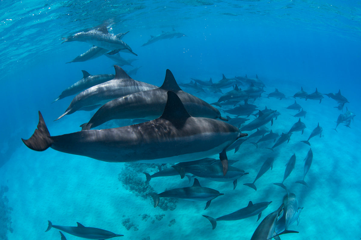 image of pod of dolphins by Craig Parry