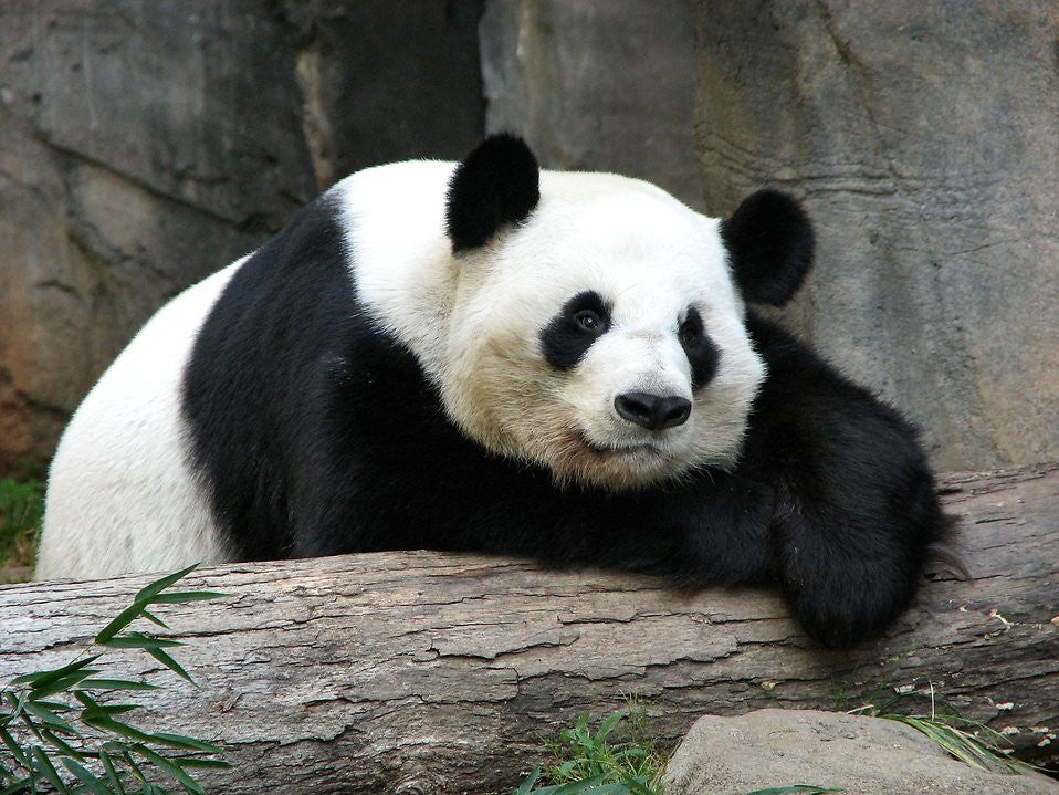 Animal Series: #2- The Peaceful Panda