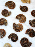 Ammonite fossil polished