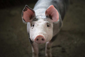 Confessions of a Play Therapist - The Pretty Pig