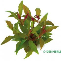 Alternanthera reineckii Red, XXL - fishbox