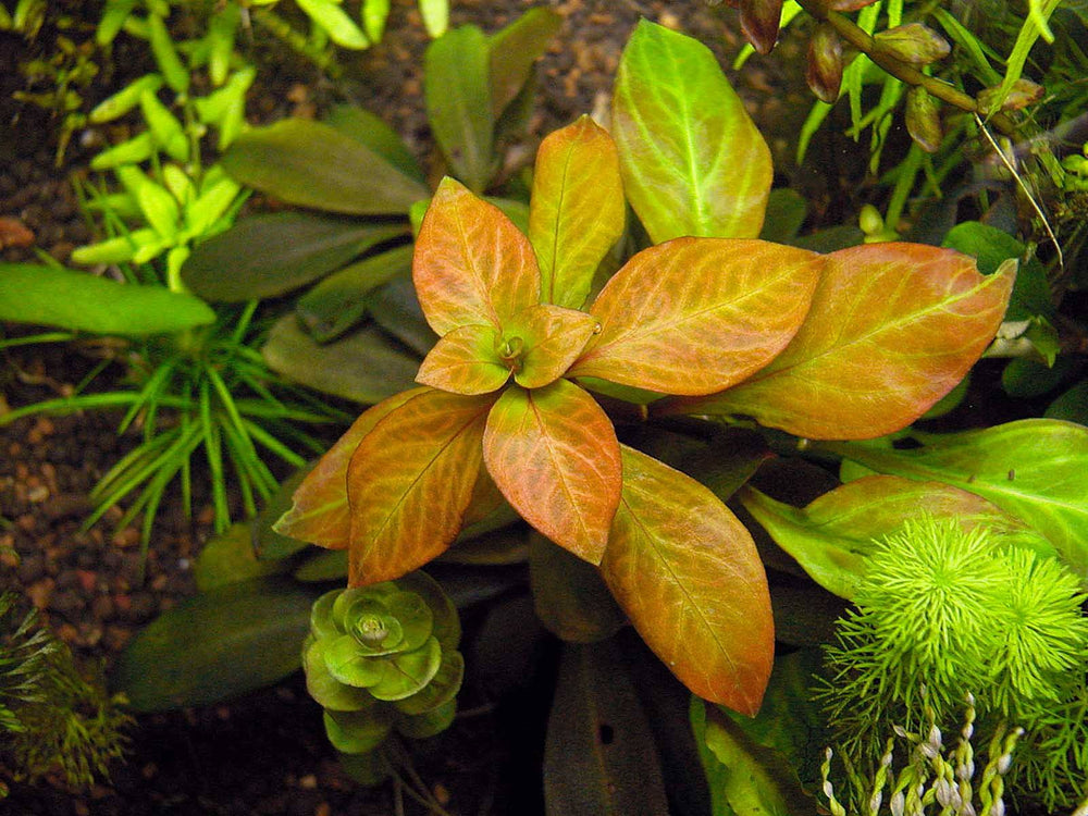 Ludwigia spec. Dark Orange - fishbox