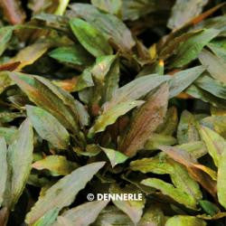 Cryptocoryne spec. Legroi - fishbox