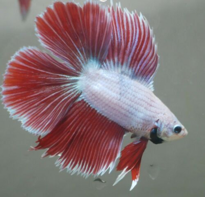 Betta splendens TWIN-TAIL