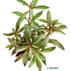Ludwigia glandulosa - fishbox